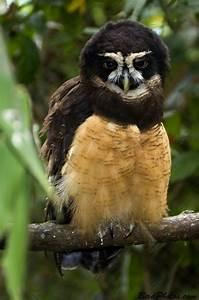 Spectacled Owl | BirdPhotos.com | OWL | Pinterest