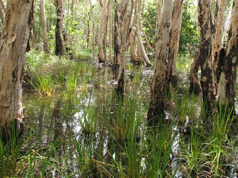 wetland trees flora wetland indicator species list department of environment and science