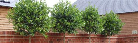 small trees for screening plants for screening and privacy ideas advice big plant nursery twyford berkshire for