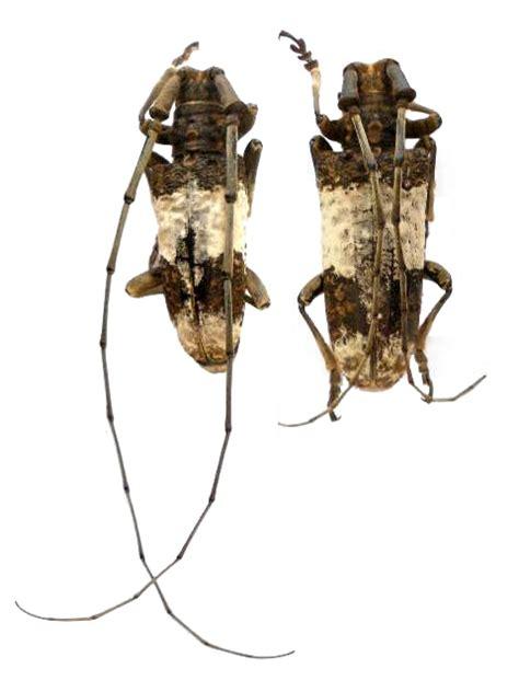 Lamiinae Lamiini Monochamus (Anthores) leuconotus ...