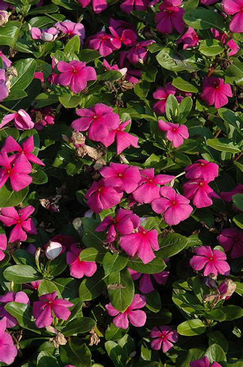titan lilac vinca catharanthus roseus titan lilac