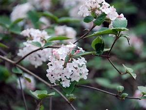 Was Vertreibt Bienen : bl tenreicher auftakt ziergeh lze fr he bienen und augenweide ~ Eleganceandgraceweddings.com Haus und Dekorationen