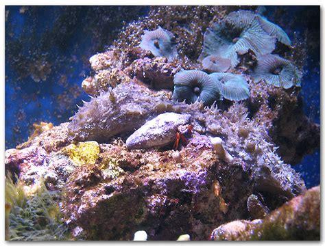 aquarium recifal algues
