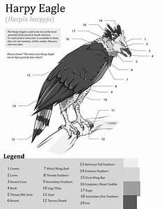 Harpy Eagle Anatomy By Eden