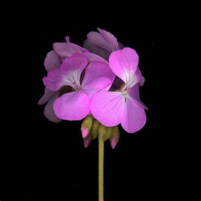 Flowers Flower Animated Animation Gifs Animations Pink