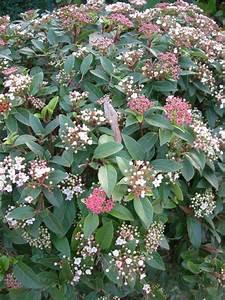 Laurier Tin : laurier tin viburnum tinus shrubs pinterest ~ Mglfilm.com Idées de Décoration