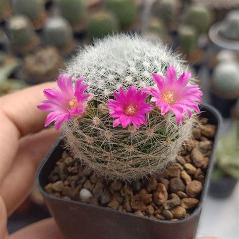 [Bannsuancactus] แคคตัส (cactus) เป็นพืชชนิดหนึ่งที่อยู่ในตระกูลไม้อวบน้ำ (succulent) แตกต่างจาก ...