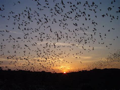bat flight program carlsbad caverns national park