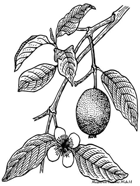 mewarnai gambar sketsa pohon jambu biji terbaru