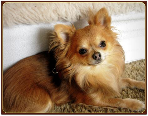 bear  long haired chihuahua phoenix wolf