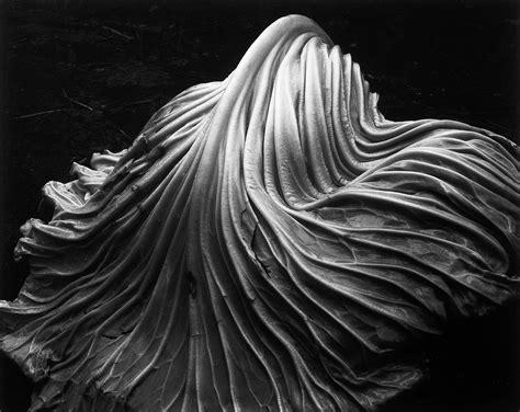 edward weston cabbage leaf  photograph  stdibs