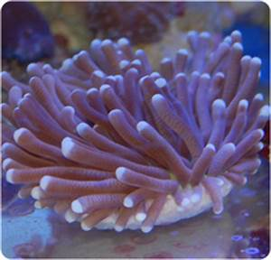 Long Tentacle Plate Coral, Disk Coral - Heliofungia ...