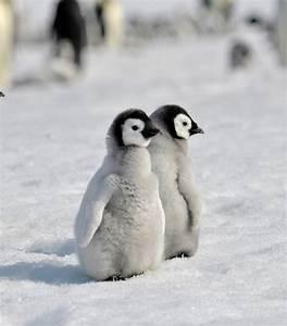 Baby Penguin Desktop Wallpaper | wallpaper, wallpaper hd ...