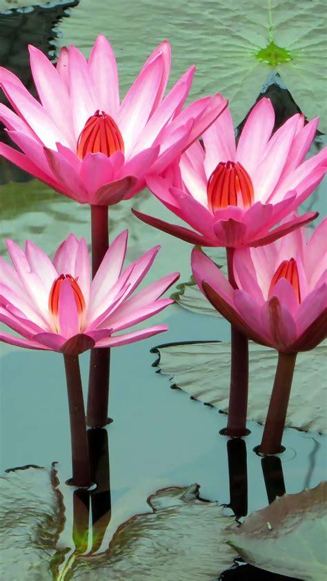 Download wallpaper 1350x2400 lotus, water lily, water ...