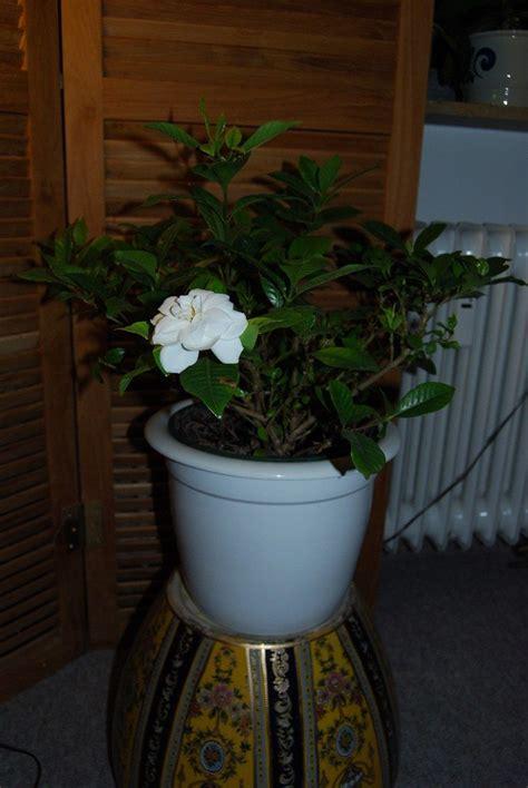 Care Of Indoor Gardenia  Learn How To Grow A Gardenia Indoors