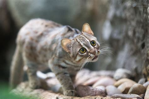 rusty cat spotted wild carnivores cute cats species prionailurus rubiginosus breeds forest another