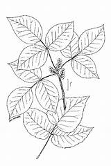 Ivy Poison Drawing Coloring Plants Vine Pages Colouring Control Toxicodendron Ive Radicans Line Leaves Usda Eastern Trending Days Last sketch template