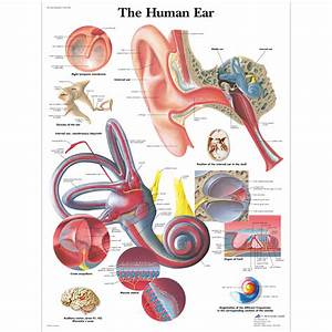 Ear Auto : human anatomy diagram human ear anatomy function part human ear anatomy anatomical charts and ~ Gottalentnigeria.com Avis de Voitures