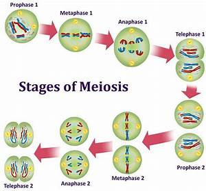Wiring Diagram  34 Diagram Of Meiosis