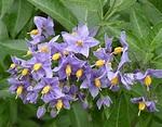 Solanum crispum - Wikipedia