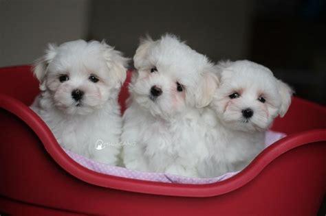 teacup maltese dog breed information  pictures