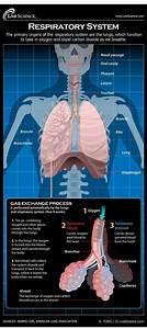 Vidyanidhi  The Human Respiratory System
