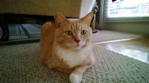 lost cat cameron north carolina gus