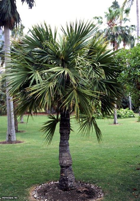 dwarf palmetto landscaping hardy sabal plants minor pool garden tropical tips hgtvgardens