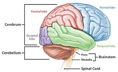 3 Sections Of The Brain by What Are The 3 Parts Of The Brain Quora