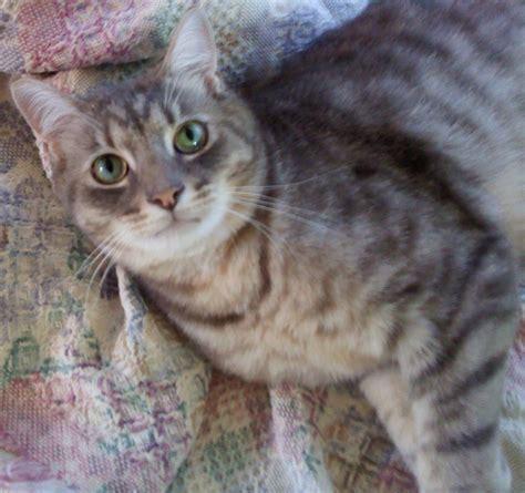 gray cat names pics photos grey tabby cat golden