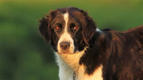 sheepdog bukovina dog face breeds names info facts petguide characteristics information