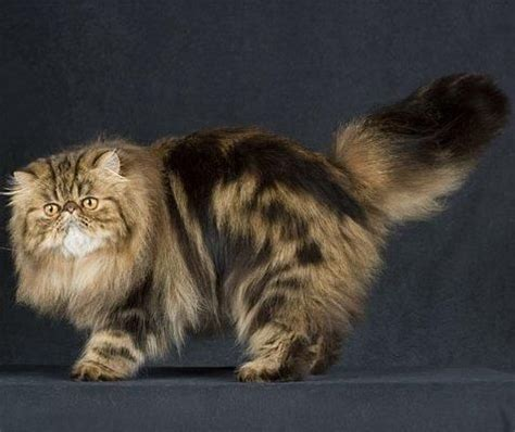 tabby cat colors silver tabby cat breed tabby color