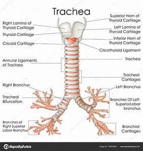 Diagram Of The Trachea