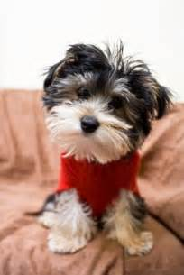 1000 images about small dogs that don t shed on pinterest