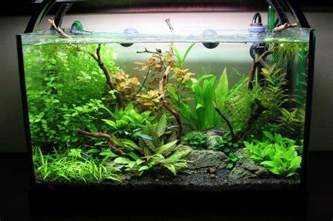 tech flora dwarf sag crypt wendtii green anubias