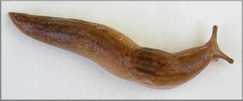 Lehmannia valentiana (Férussac, 1821) Three-band Garden Slug