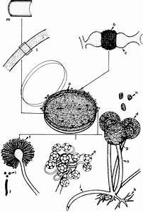 Typical Characteristics Of Zygomycetes  A  Mycelial Colony