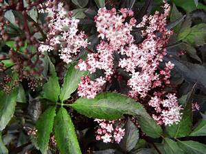 Schwarzer Holunder Black Beauty : wildobstschnecke sambucus nigra black beauty gerda s ~ Michelbontemps.com Haus und Dekorationen