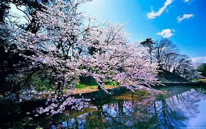 Cherry Blossom Trees 1366 1080 Resolutions 1920