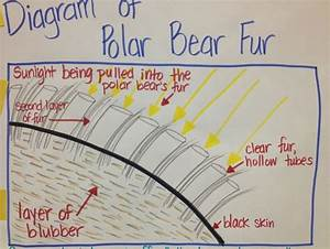 Keeping Warm - Diagram Of Polar Bear