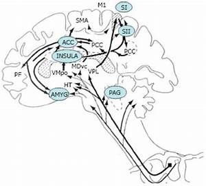 Supraspinal Areas Involved In The Modulation Of Pain  Acc