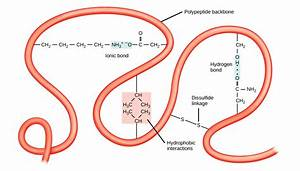 Proteins  U2013 Biology 2e