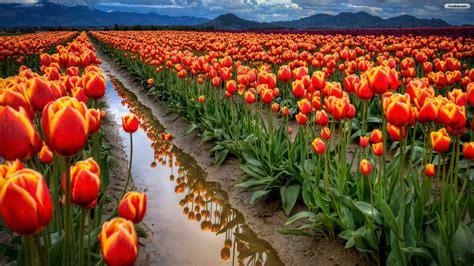 eleletsitz tulip garden images eleletsitz tulip flower garden wallpaper images