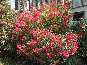 The Common Garden Oleander Can Kill Your Pet