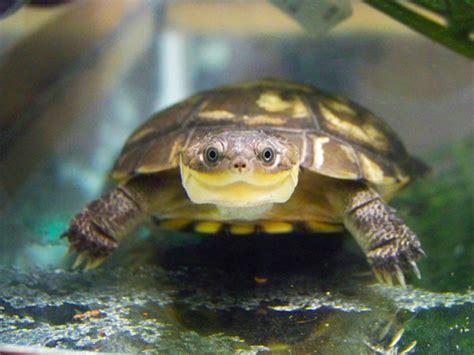 floralies garden je prends soin de ma tortue pelomedusa subrufa