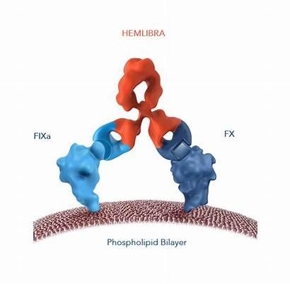 Hemlibra Mechanism Action Emicizumab Moa Factor Coagulation