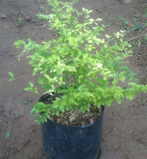 jual jual tanaman hias pohon legistrum hariflora