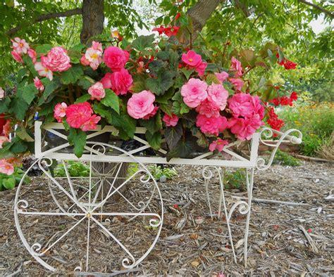 begonias outdoors wiese acres tuberous begonias