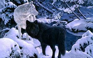 Black And White Wolf 18 Desktop Background ...