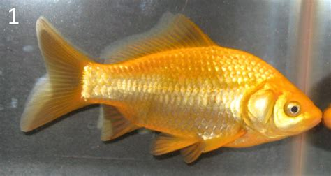 site  goldfish keepers culling scale types